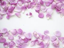 Pink rose petals on white background. Copy space. top view. flat lay royalty free stock photo