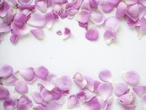 Pink rose petals on white background. Copy space. top view. flat lay royalty free stock images