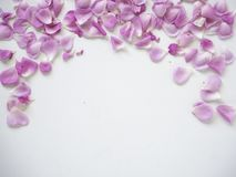 pink rose petals on white background royalty free stock image