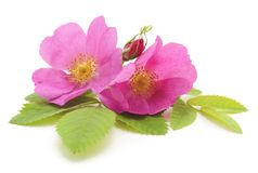 Pink rose with petals. Pink rose with petals on white background royalty free stock photography