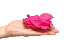 Pink rose petals in woman's hand Royalty Free Stock Photos