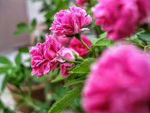 The Pink Rose stock image