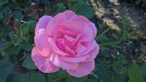 A pink Rose royalty free stock photos