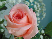 Pink rose. Royalty Free Stock Photography