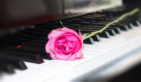 Pink rose on a piano key Stock Image