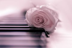 Pink rose and piano, soft pink background. Close up of beautiful pink rose on a piano keyboard with soft pink background royalty free stock photography