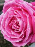Pink rose. A picture of a perfect pink rose from our garden. Beautiful nature Stock Image