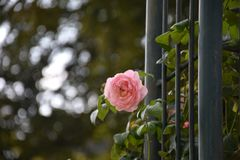 Rose in Pilsen royalty free stock photography