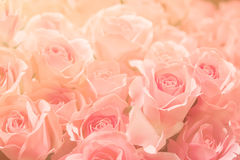 Pink rose on pink background, in soft and blur filter for backgr. Ound Stock Images