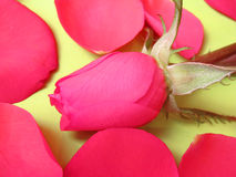 Pink rose and pink petals Stock Photos