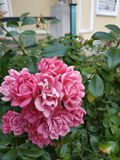 Pink rose. Park, summer, flovers stock photography