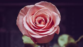 Pink rose. Pink wedding rose close up isolated on dark background stock photos