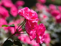 Pink rose plant with rose plant background Stock Photography
