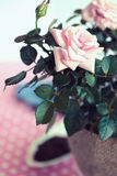 Pink rose in a pot Stock Image