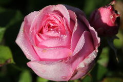 A pink rose. After the rain Royalty Free Stock Image