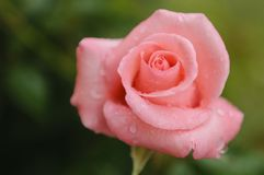 Pink rose and rain drops royalty free stock photo