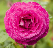 Pink rose with rain drops Stock Photo