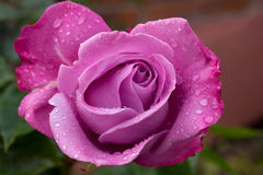 Pink rose after the rain Royalty Free Stock Images
