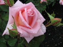 Pink rose with raindrops. A beautiful pink rose with 3 buds covered with raindrops.  Perfect petals unfolding from a bud Royalty Free Stock Image
