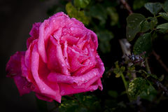 Pink Rose with Raindrops Stock Images