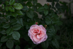 Pink rose in garden after rain. A lone pink rose in the garden with rain drops on the leaves royalty free stock photos