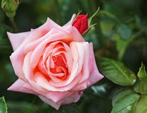 Pink rose with red bud Royalty Free Stock Photo