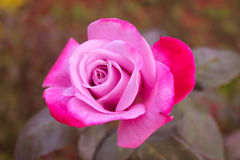 Pink Rose with red petals Royalty Free Stock Image
