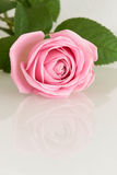 Pink rose reflecting in white surface Royalty Free Stock Images
