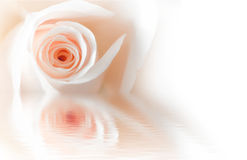 Pink rose reflection. Pink rose with water reflection Royalty Free Stock Photo
