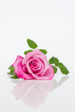 Pink rose with reflection. Stock Image