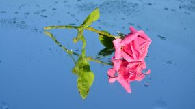 Pink rose reflections and dew drops. Pink rose reflections in water with dew drops on a sky-like background royalty free stock image