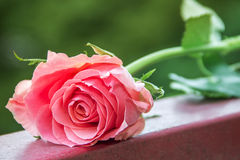 Pink rose. Rests on an iron stick with the green branches, in the background is blurred, green Royalty Free Stock Photo