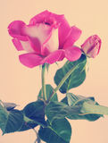 Pink Rose with retro vintage filter. Stock Photography