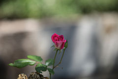 Pink rose, Rosa, blooms Stock Photography