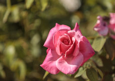 Pink rose, Rosa, blooms Royalty Free Stock Images