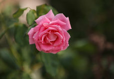 Pink rose, Rosa, blooms in summer Stock Photo