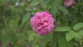 pink rose Rosa Centifolia Linn stock video