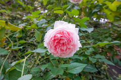 Pink rose Rosaceae family. In Singaporean gardens royalty free stock images