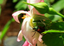 Pink rose and rose bud in morning sun Japanese Beetle feeding in garden landscape gardening. Japanese beetle sitting on pink rose with rose bud Stock Images