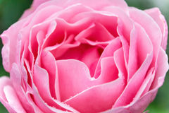 Pink rose. Rose flower. Royalty Free Stock Photography