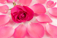 Pink rose on rose petals and bath salt. Grains royalty free stock image