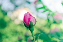Pink rose rosebud Stock Image