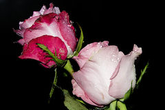 Pink rose3 Stock Images