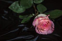 Pink rose on a rumpled black velvet. Closeup. Romantic postcard Stock Image