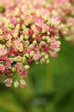 Pink and Rose Sedum Blossom on a green background Stock Photos