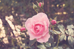 Pink Rose. Selective focus on a blooming pink rose with a soft vintage focus Stock Images
