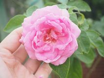 Pink rose in selective focus. Nature in your hand Royalty Free Stock Photo
