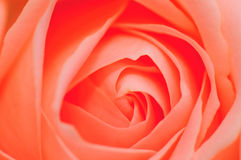Pink Rose Series 1 stock images