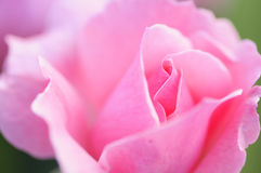 A pink rose Stock Image