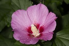 Pink rose of sharon flower in South Windsor, Connecticut. Stock Photos